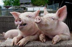 В «Укргаздобыче» разводят коров и свиней