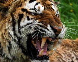 Малайський тигр у США загриз доглядачку зоопарку
