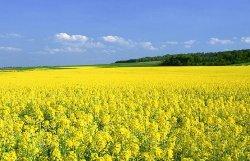Переработка горчицы в Украине увеличилась в 2 раза