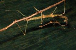 В Китае нашли самое длинное насекомое