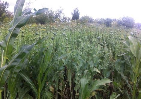 На Хмельнитчине полиция обнаружила в огороде 35-летней женщины 1700 кустов мака