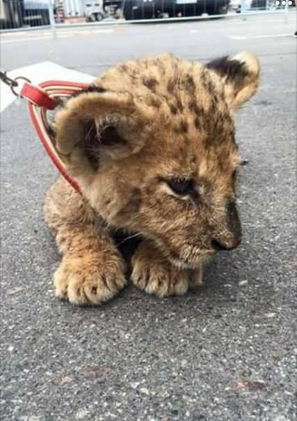 В центре Сум сотрудник цирка выгуливал окровавленного детеныша леопарда