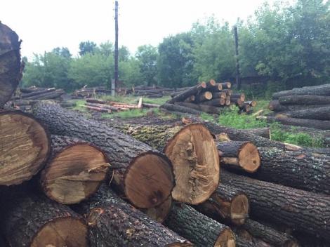 На Сумщине разоблачили преступников, которые вырубили столетние дубы на 1,5 млн грн