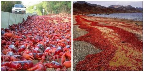 Новый год наступил на острове Чатем: улицы заполонили миллионы крабов