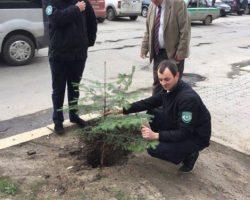 Вместо антипарковочных столбиков в Ивано-Франковске высаживают ели