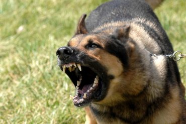 При задержании преступник покусал служебную собаку