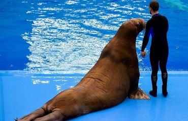В России тренера океанариума уволили после драки с моржом