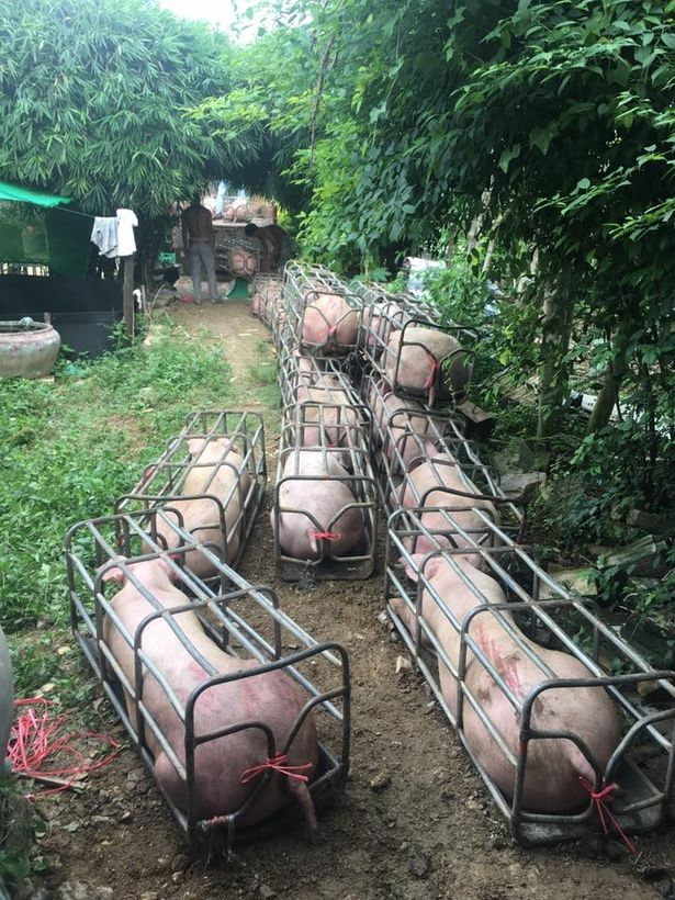 Фермер разводит мускулистых свиней-мутантов