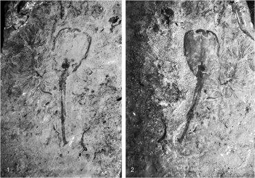 Ученые нашли в США одного из первых многоклеточных существ Земли