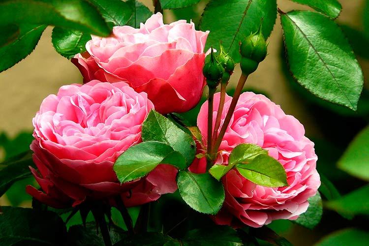 Саженцы роз от компании МегаСад