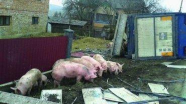 В России из перевернувшегося грузовика сбежали свиньи