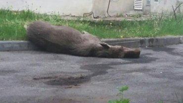 Молодой лось забрался в жилые кварталы Перми и умер от страха