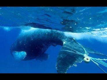 В США запутавшихся в сетях китов спасают дроны