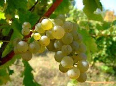 Грузия планирует культивировать виноградную лозу на Марсе