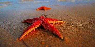 В морской звезде скрыт секрет вечной молодости