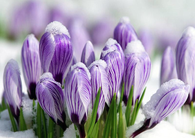 Луковицы весенних цветов - вырасти свое
