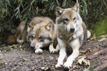 Европа опасается нашествия чернобыльских волков-мутантов – ученые