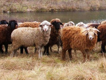 Фермер из Турции выращивает в Украине овец и экспортирует их на родину