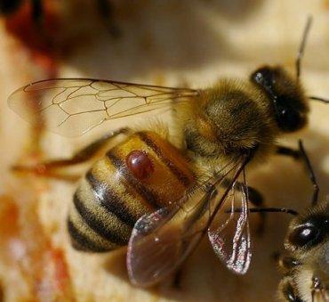 Через 17 лет на Земле исчезнут пчелы и наступит голод