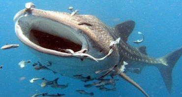 Крупнейшие в мире рыбы доживают до 130 лет