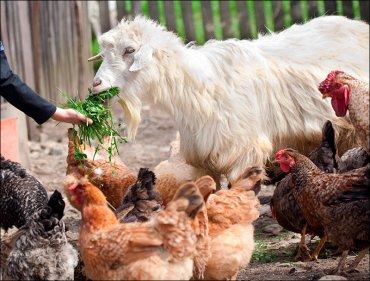 В России вводят налог на коз и кур