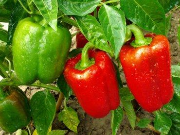 На Херсонщине вырастили самую большую в Украине плантацию сладкого перца