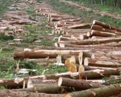 Налоговая проверит 60 лесхозов на предмет незаконного экспорта