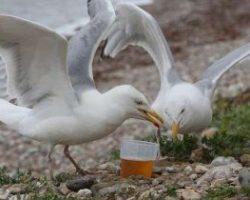 Парализованные чайки на якутской реке предположительно оказались пьяными